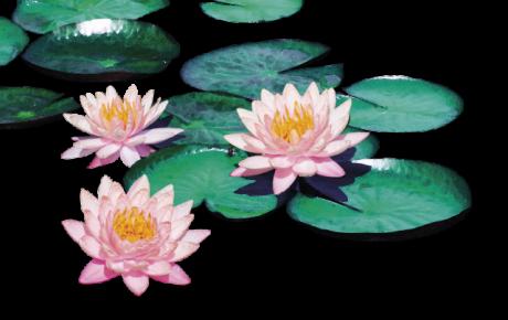 La ninfea. Il fiore galleggiante  che decora i nostri laghetti