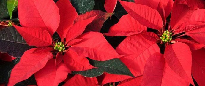 La stella di Natale. Rallegra le feste, riduce lo stress e migliora il rendimento!