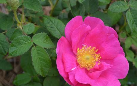 Le Rose di montagna
